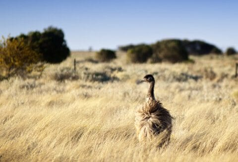 the benefits of emu oil